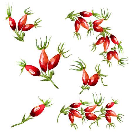 dog rose: Watercolor hand drawn illustrated canker-rose design elements. Red dog rose berries. Vector
