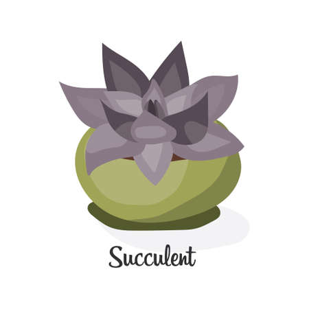 succulent: Succulent plant in pot. Flat vector illustration on white background. Decorative home plant with large purple leaves.
