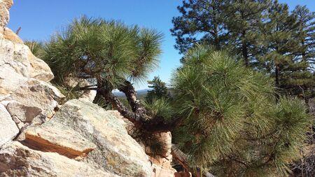 ponderosa pine: Ponderosa Pine