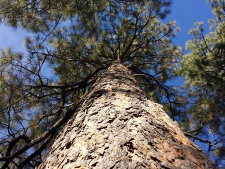 ponderosa pine: Arizona ponderosa Pine Tree