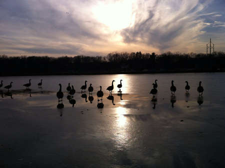 The geese take an early morning stroll 版權商用圖片