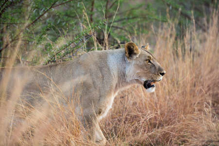 Lone female Lion (Panthera leo) on the prowl at Pilanesberg National Park South Africa