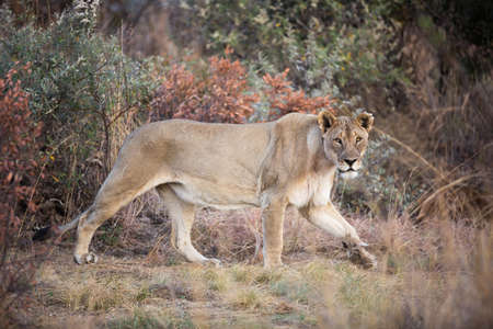 Lone female Lion (Panthera leo) prowling in the Pilanesberg National Park, South Africa Stock Photo