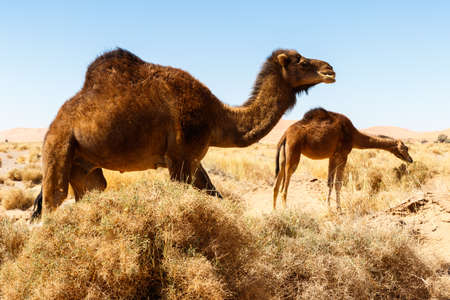 Camel in the Morocco desert Stock Photo