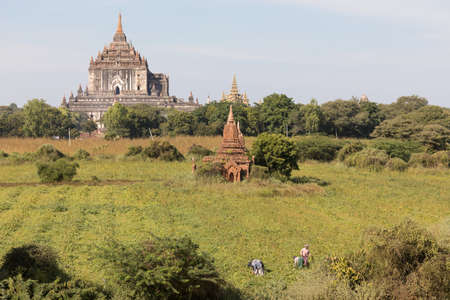 People working on field on front of temples and historical pagodas of the Archaeological Zone in Bagan in the early morning sunlight. Myanmar (Burma).