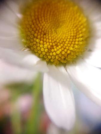 macro photo of chamomile