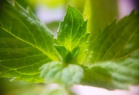 macro photo of mint