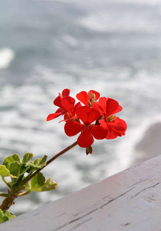 red geranium flower on the background of the sea