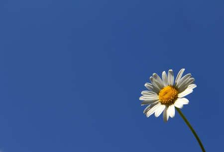 lonely daisy Stock Photo