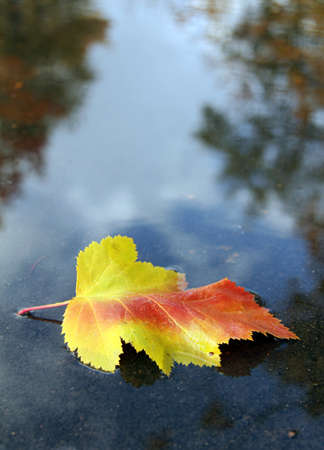 beautiful autumn leaf fallen in a puddle