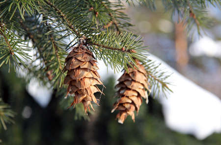 spruce cones in the New Year s Day Winter Stock Photo