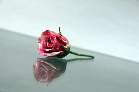 a little gentle rose and its reflection in the glass Stock Photo