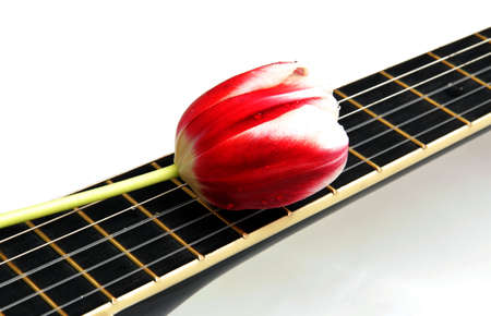 the melody of a delicate tulip flower of love photo