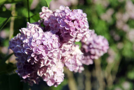 blooming in the warm spring sun branch of lilac Stock Photo