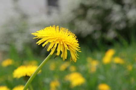 Yellow wild flower dandelion during summer flowering