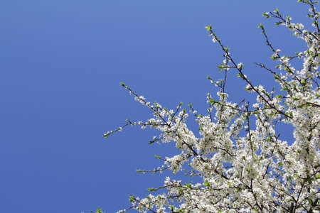beautiful blooming apple tree in the spring against the sky Stock Photo