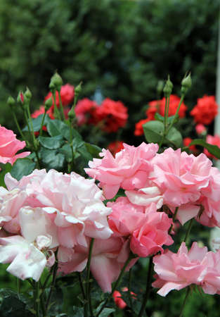 old pink roses make way for the young