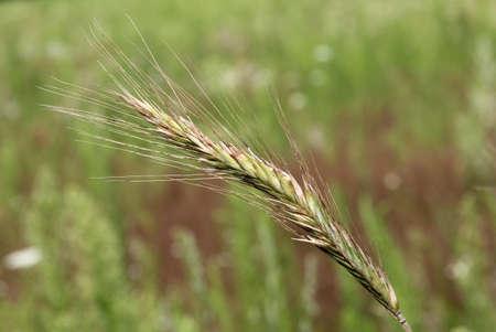 matures: useful grass matures on a green field