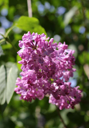 gentle lilac bouquet basking in the sun