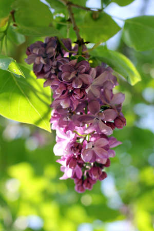 Bunch lilac flowers very similar to grapes