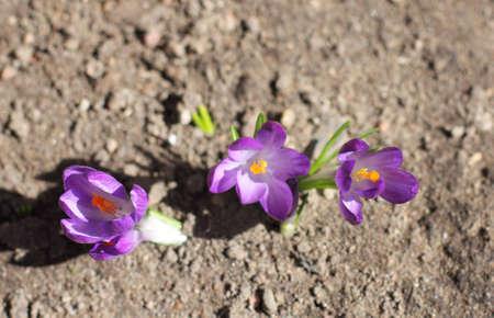 bask: shoots purple crocus flowers bask in the sun Stock Photo