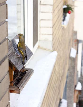 greenfinch little bird flew in the winter to eat at the bird feeder