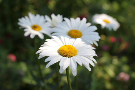 forest daisies bloom in the summer sun