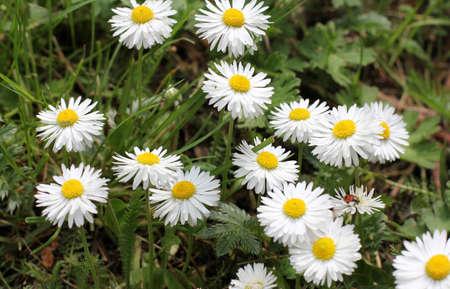delicate daisy petals shine in the sun