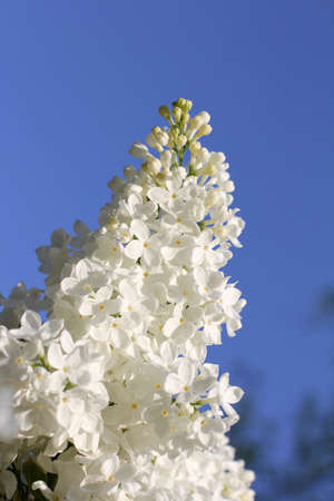 white fluffy lilac flowers in spring season