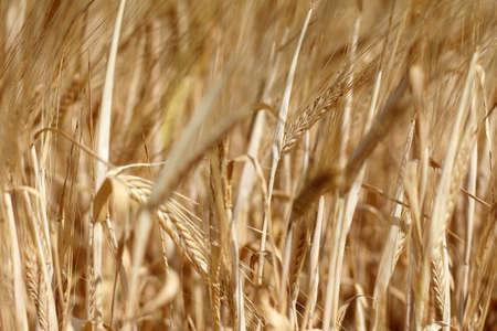 cereal: campo de fondo con un mont�n de los o�dos del cereal Foto de archivo