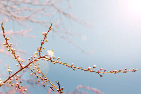 unusual light envelops on blossoming flower buds of trees Stock Photo