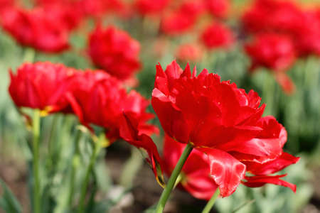 plurality: a plurality of delicate terry and red tulips in spring