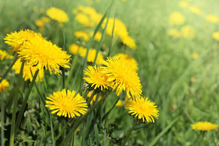 a lot of yellow dandelions grow on a green meadow  glade of yellow flowers