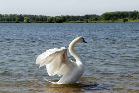 bird the floating on the lake and gracefully spreading its wings  white swan