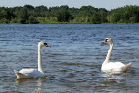 white gracefully swim on the water during the summer  swan couple of birds resting on the lake Stock Photo