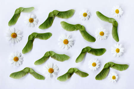 lay flat horizontal pattern with daisies and green maple seeds top view  natural pattern of flowers and seeds