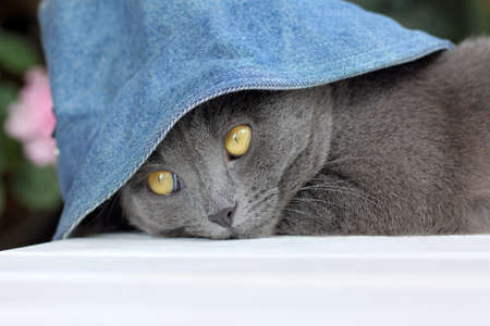 gray cat in a denim hat to spend time resting on the table  vacationer Cat in the Hat Stock Photo