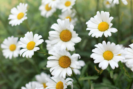 background with daisies growing in the flowerbed  plurality of chamomile flowers
