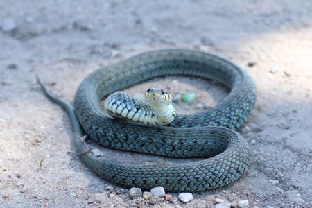 nontoxic: scaly reptile curled up on the road and watching the environment  ordinary non-toxic snake