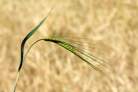 matures: Green spica cereal growing on a background of field  in the field crop matures Stock Photo
