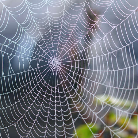 morning dew: background wet web in the autumn foggy morning  phenomenon of wild nature