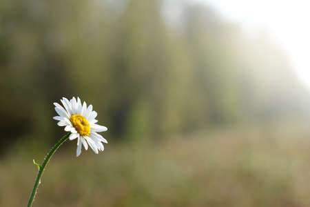 Daisy with drops of dew on a background blurred forest landscape  flower in the morning light Stock Photo