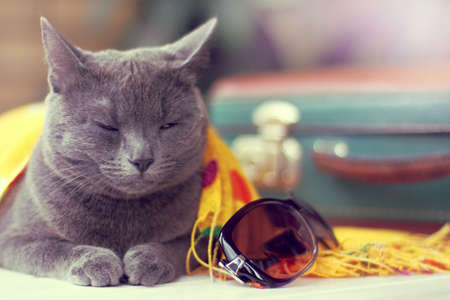cat with half-closed eyes is on duty on a table with luggage  waiting for discounts on tickets