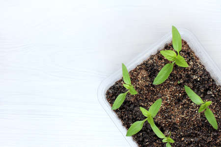 Young green pepper seedlings in a box with soil  homemade billet for planting in the garden
