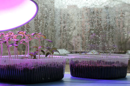 led lighting: Light agro lamp helps to illuminate the seedlings of young tomatoes in rainy weather outside the window  proper care is the key to a good harvest