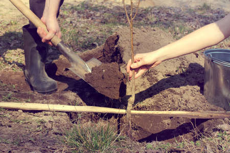 pair of gardeners with a young fruit tree in the spring / planting of seedlings by level