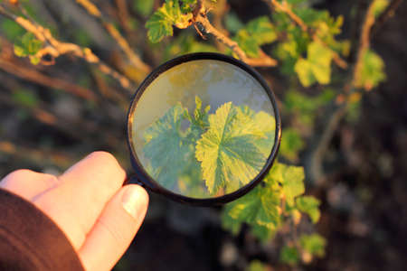 Gardener inspects Currant bush through a magnifying glass in the spring  Close study of growth Stock Photo