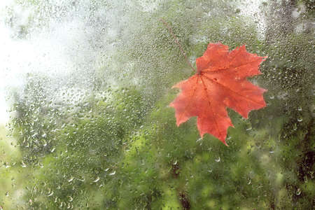 clinging: The first red Maple leaf was stuck on the window wet from raindrops  beginning  autumn season