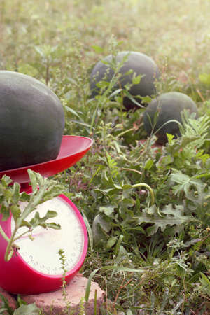 weighing up the growing watermelons in the garden  gaining a lot of weight