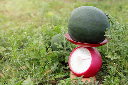 weighing up the growing watermelons in the garden  selection by the highest weight